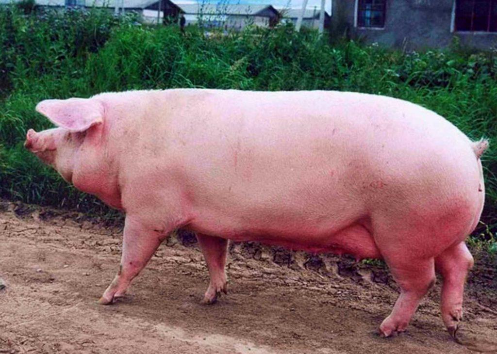 Большая белая свинья фото