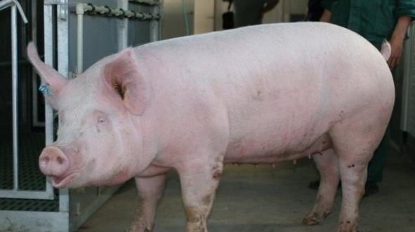 Латвийские белые свиньи