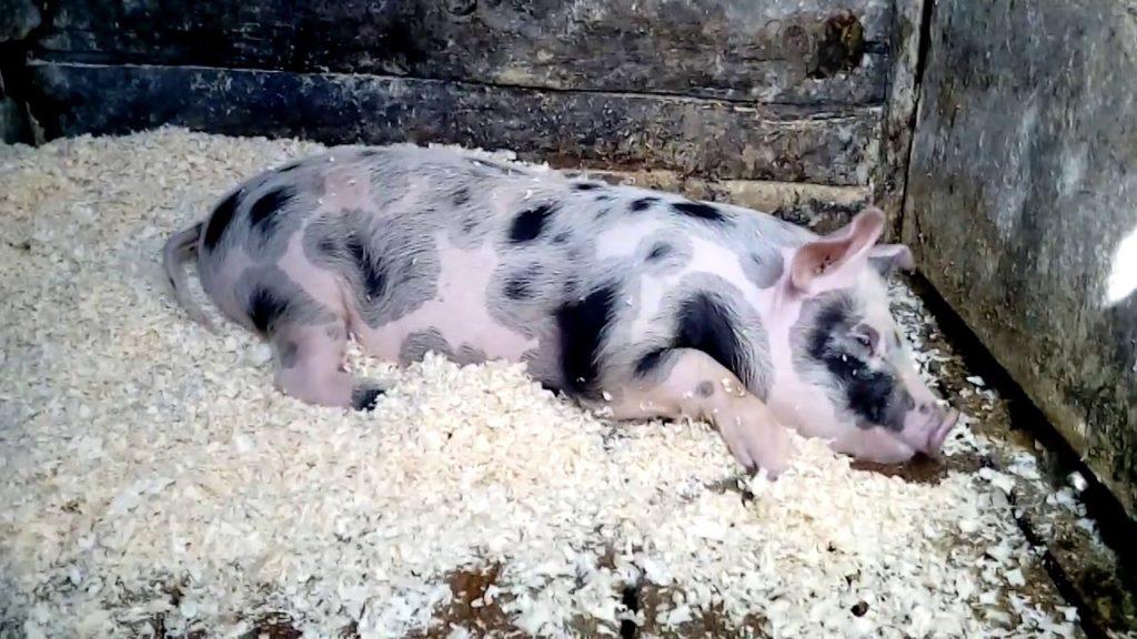 Миргородские свиньи