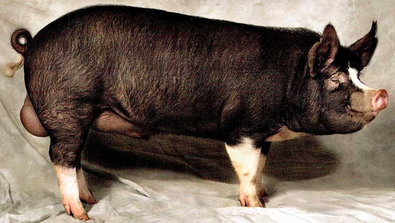 Беркширские чёрные свиньи