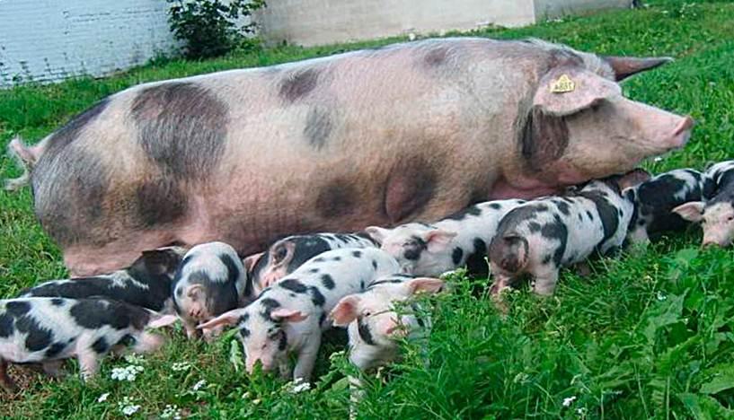 Чёрно-пёстрые породы свиней