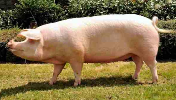 Скороспелая мясная порода фото