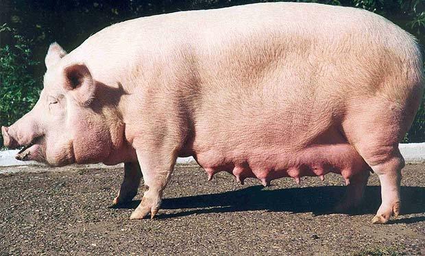 Свиньи уржумской породы