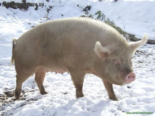 Свинья сибирской северной породы