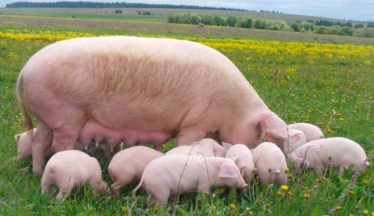 Украинская степная белая свинья фото