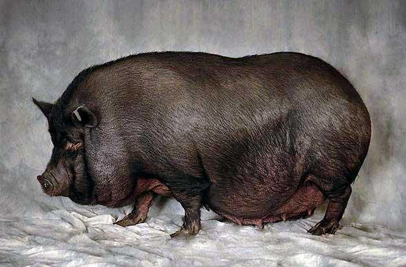 Вьетнамские вислобрюхие чёрные свиньи