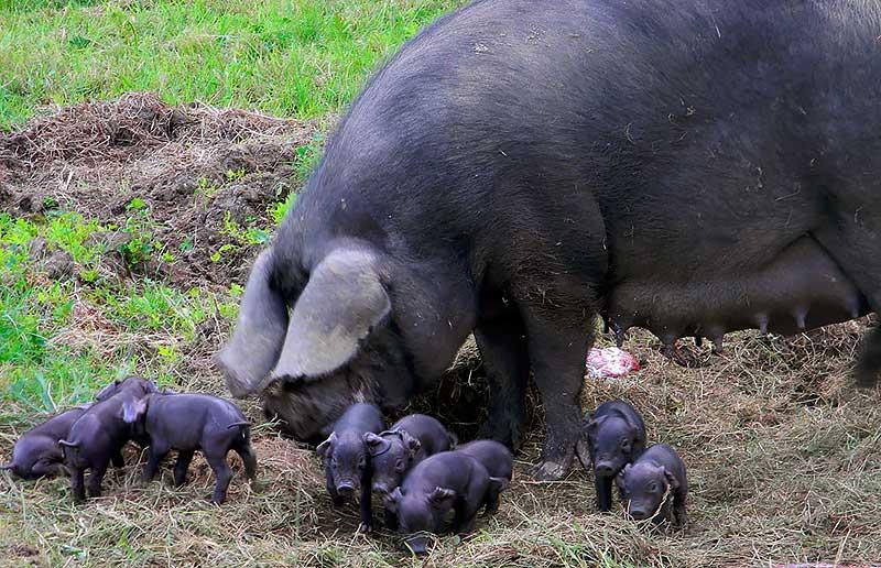 Большая черная свинья