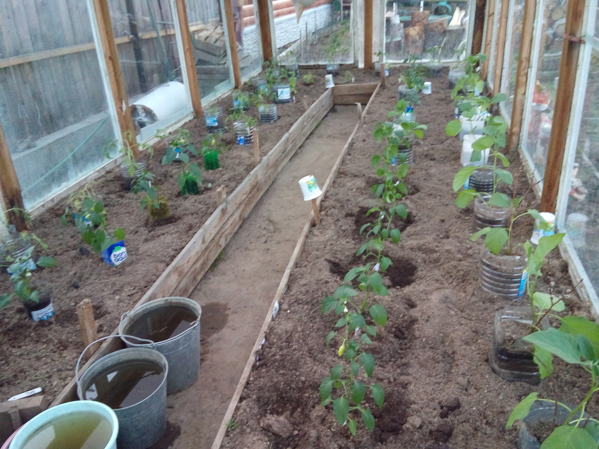 Когда сажать в теплицу рассаду помидоров 11