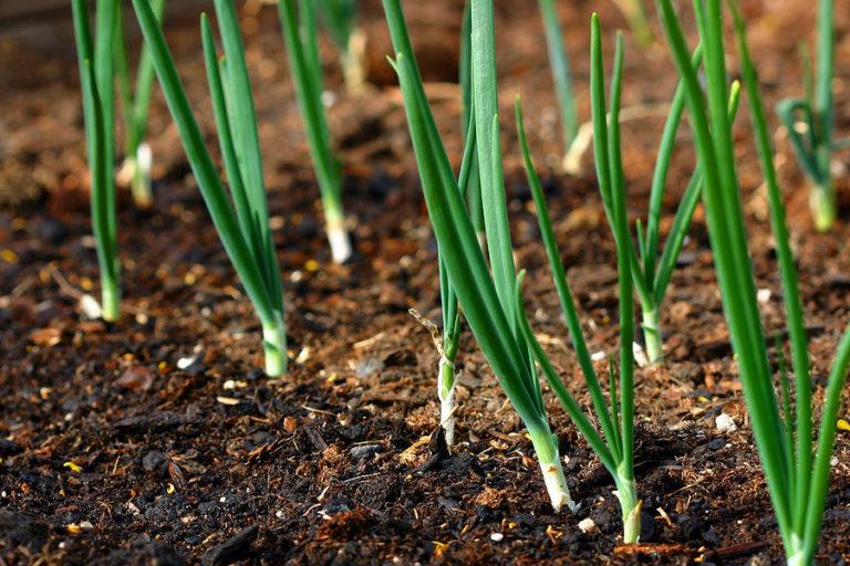 Когда посадить лук на рассаду 827