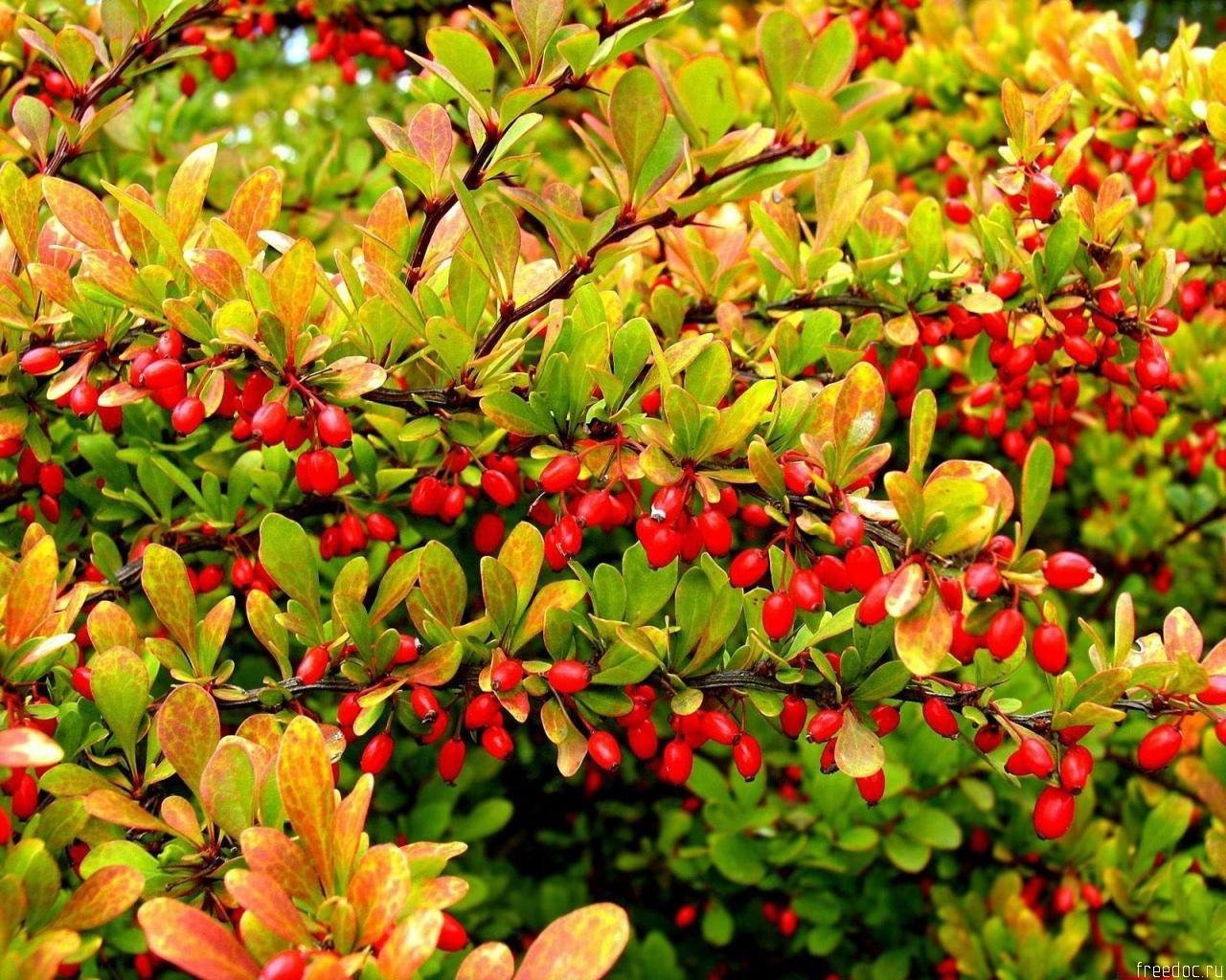 Барбарис: выращивание и уход