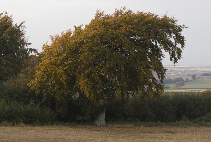 Бук европейский (лесной): выращивание и уход