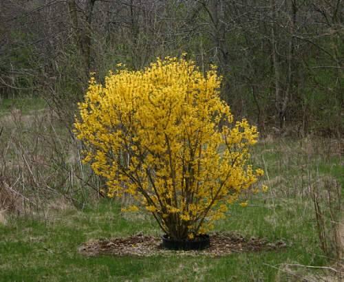 Химонантус (Химонант, Зимнецвет): выращивание и уход