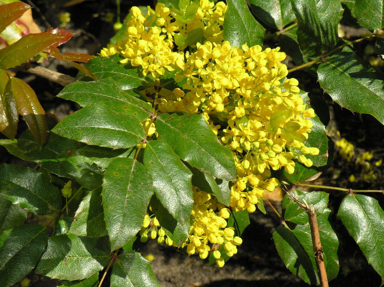 Магония падуболистная: выращивание и уход