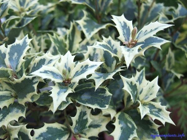 Османтус: выращивание и уход