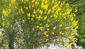 Метельник прутьевидный: выращивание и уход