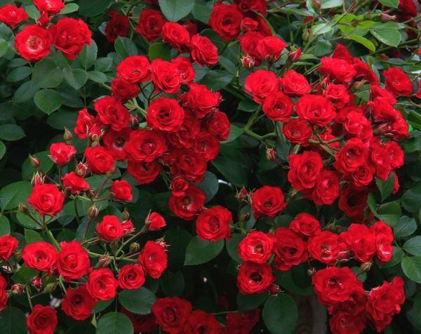 Роза: выращивание и уход