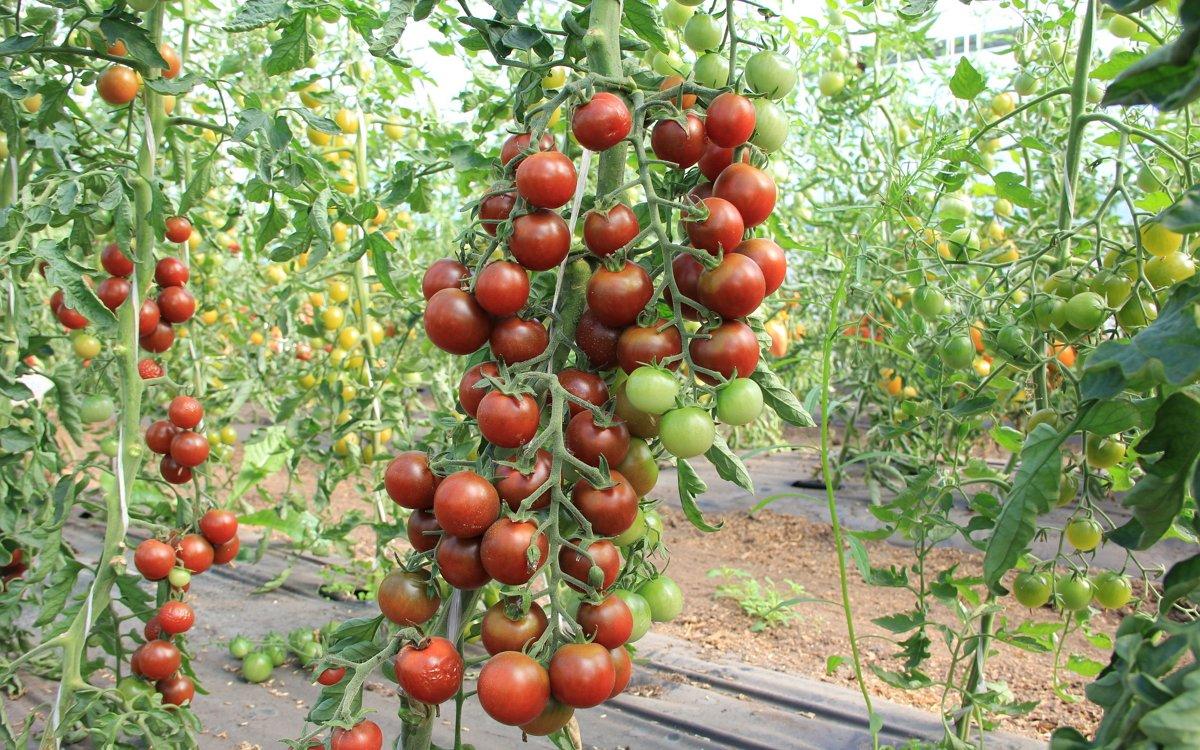 Как продлить сезон томатов