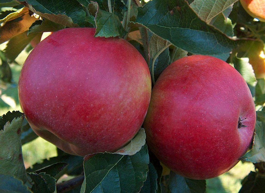 Новые зимние сорта яблок которые хорошо хранятся