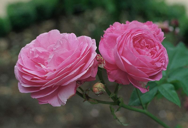 Классификация роз
