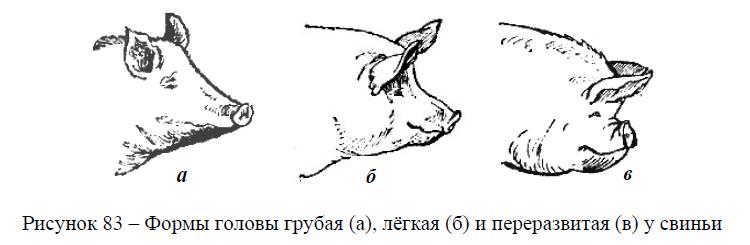 Формы головы у свиньи