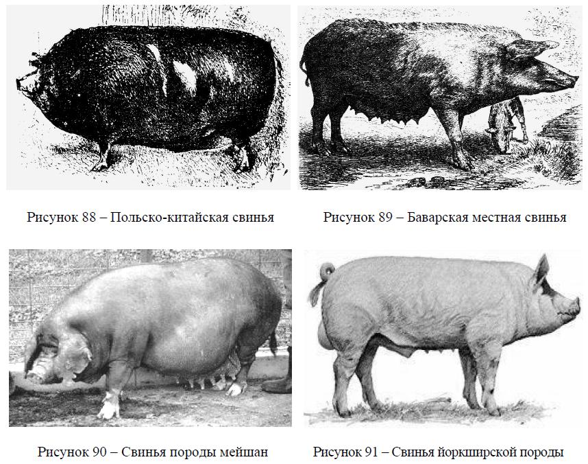 Конституция свиней