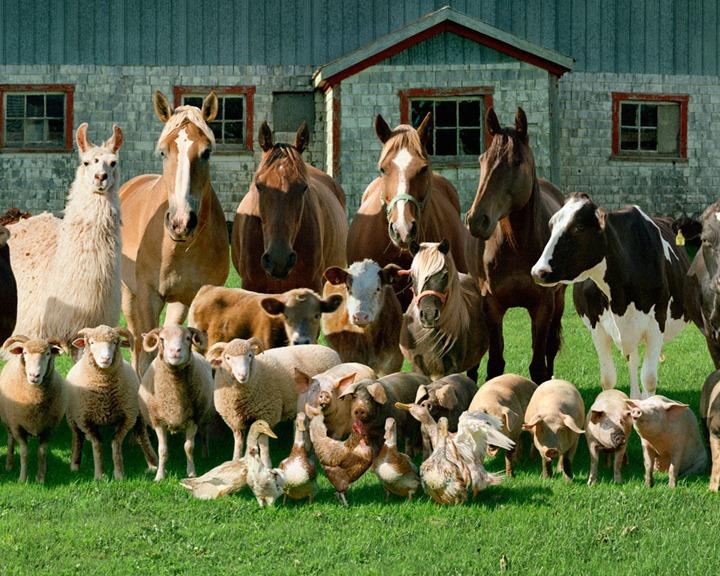Породы сельскохозяйственных животных