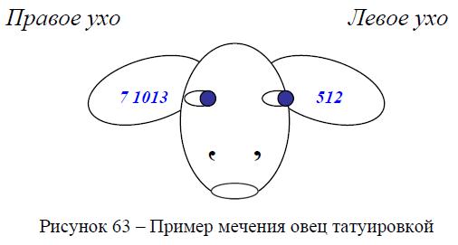 Пример мечения овец татуировкой