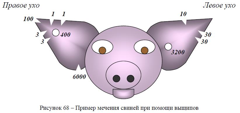 Пример мечения свиней при помощи выщипов