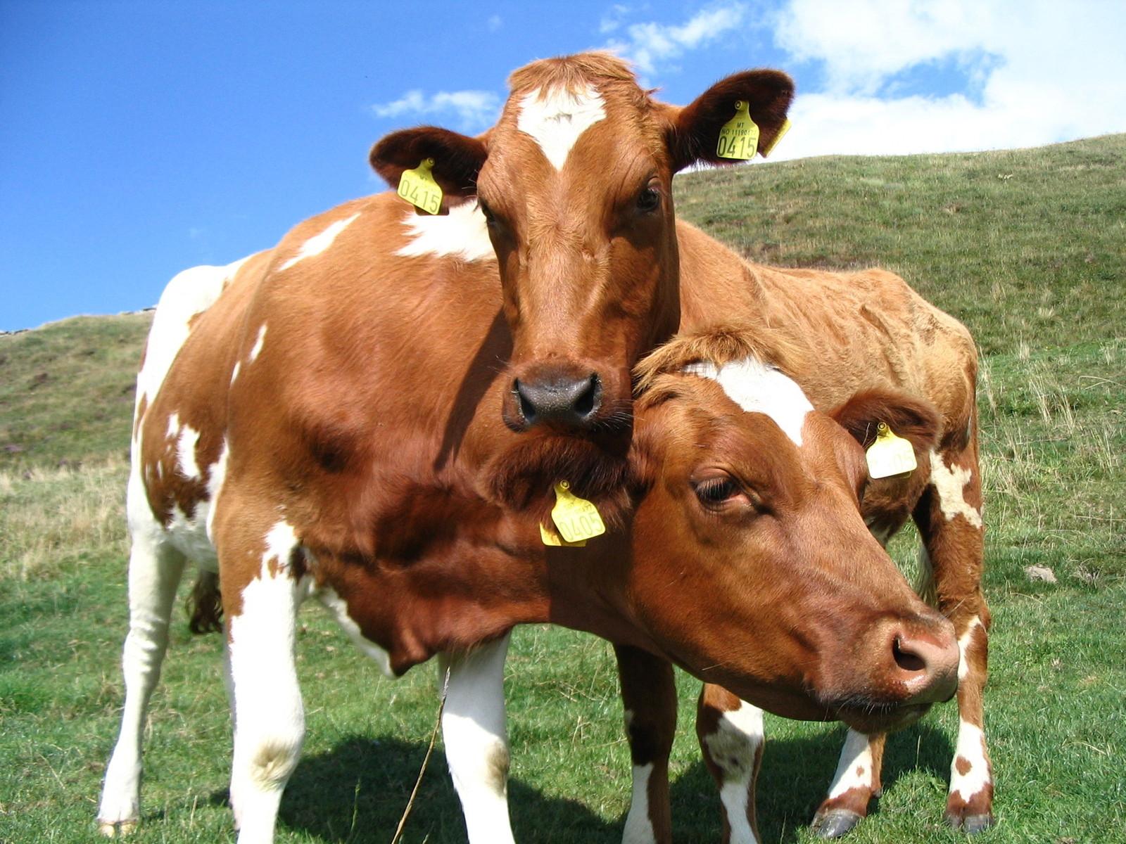Организация племенной работы в животноводстве