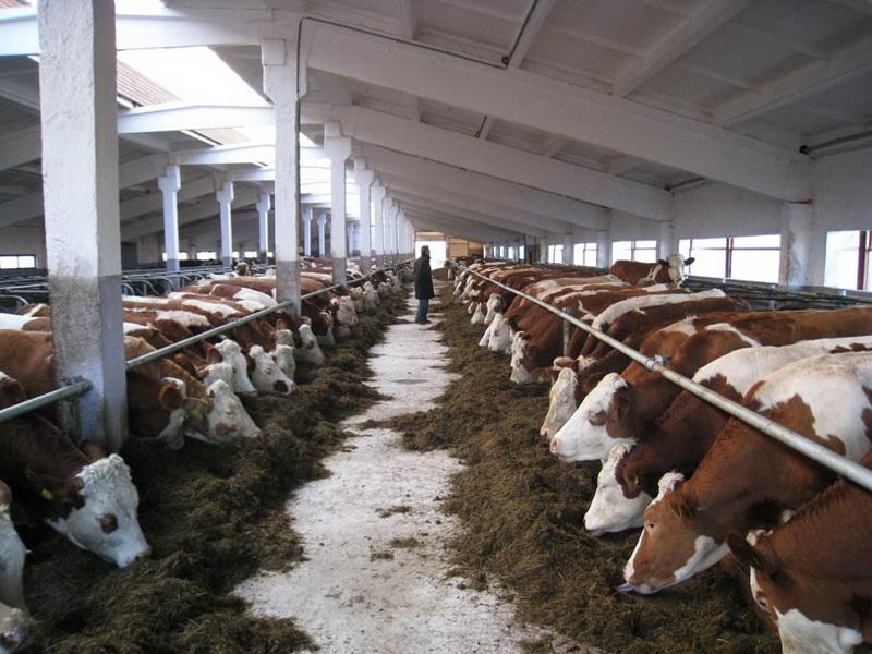 Содержание крупного рогатого скота на фермах