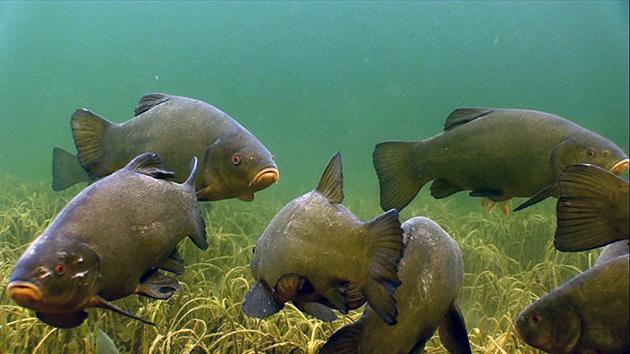 Поликультура: смешанное разведение рыбы