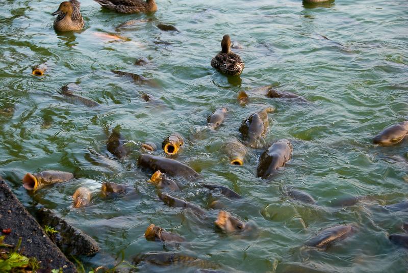 Разведение карпа и других растительноядных рыб