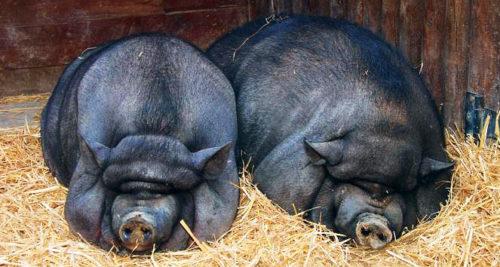 Выгодные породы свиней