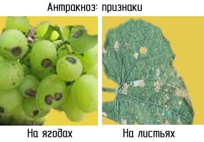 Антракноз у винограда