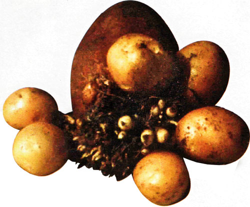 Эффективное использование семенного картофеля