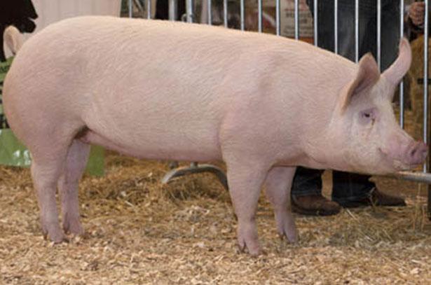 Свинья Русской белой породы