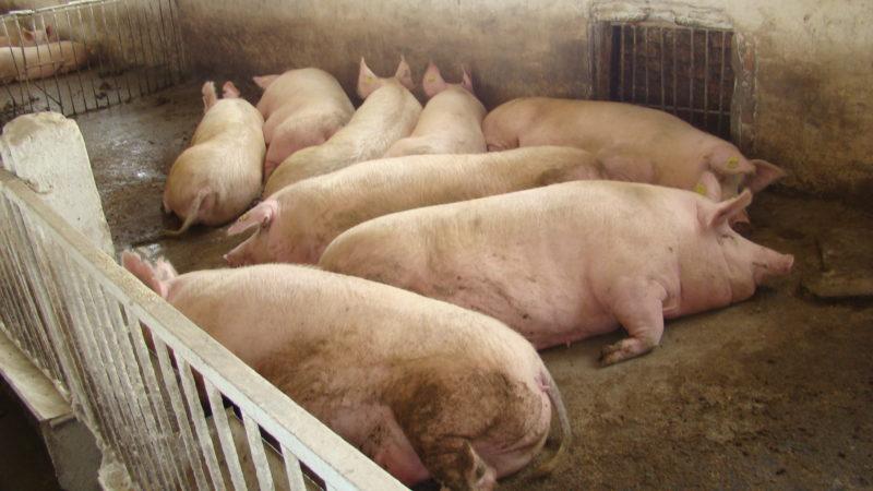 Лучшие породы свиней