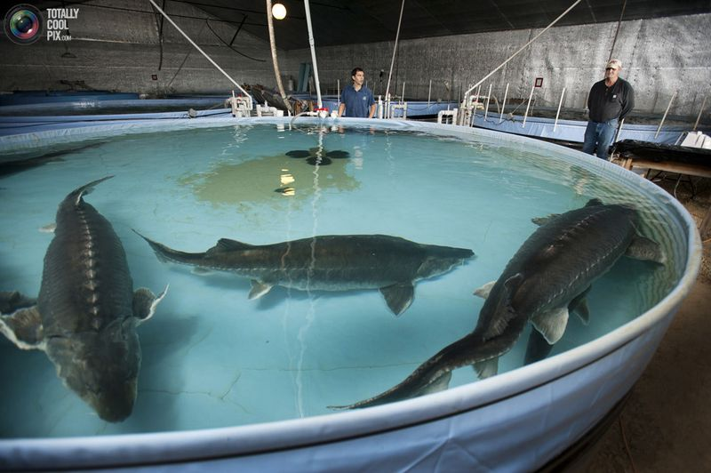 Биологические особенности осетровых рыб, определяющие эффективность их выращивания