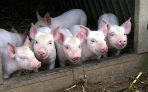 С чего начать разведение свиней