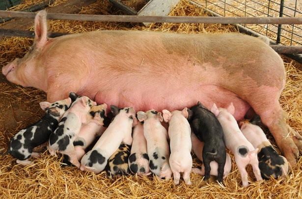 Уход за свиноматкой