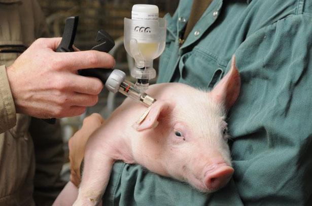 vakcinaciya-svinej-protiv-bolezni