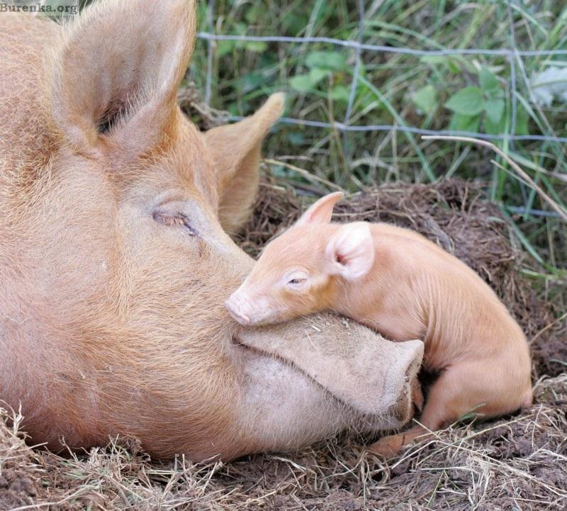Как правильно организовать разведение свиней в подсобном хозяйстве