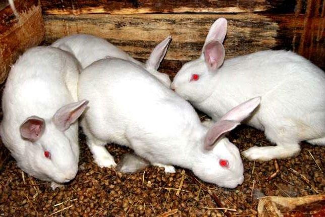 Порода кроликов – Белый великан
