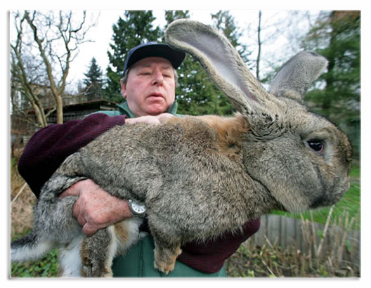 Порода кроликов – серый великан
