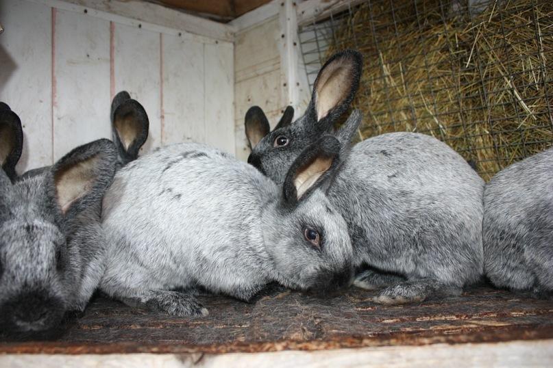 Порода кроликов – Серебристый
