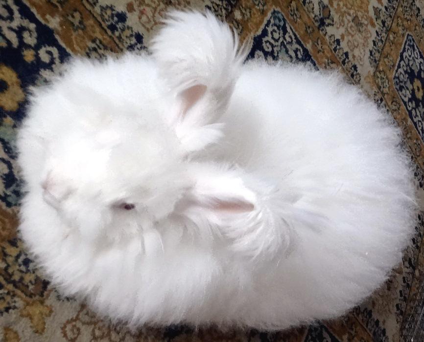 Порода кроликов - Ангорская пуховая