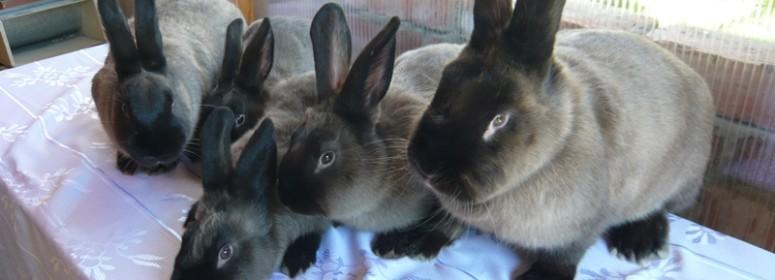 Порода кроликов – Большой мардер