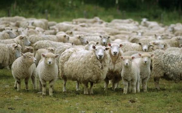 Порода овец бурятские буубэй