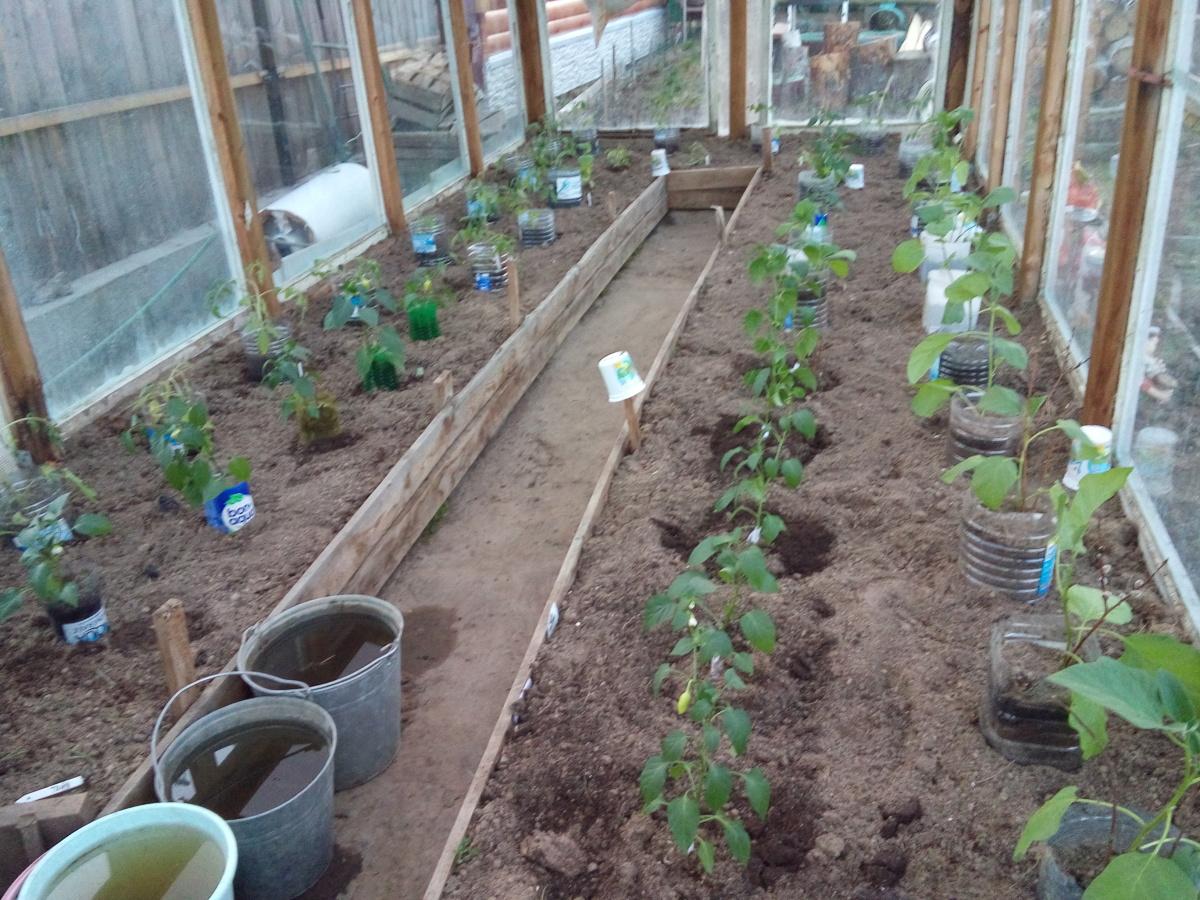 Как высаживать рассаду в теплицу