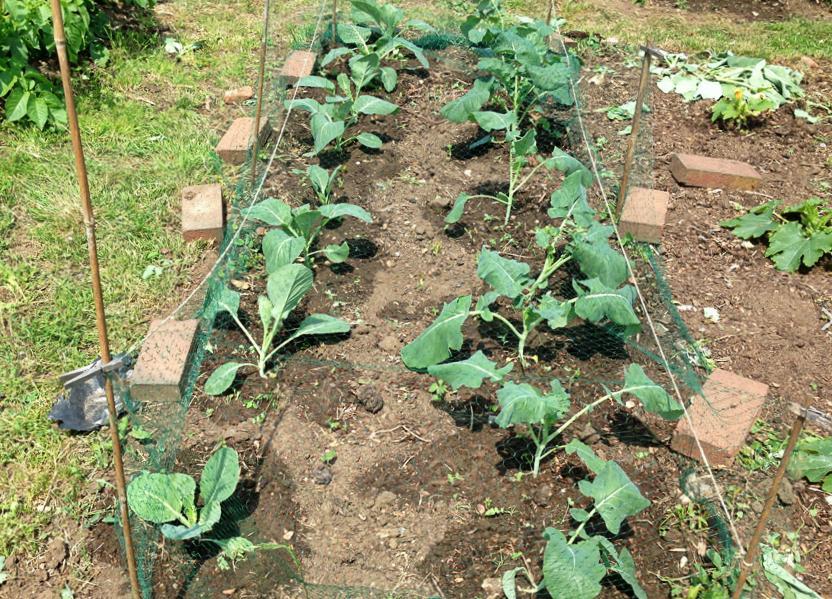 Выращивание брокколи по ЭМ - технологии